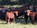 black-brown-cows