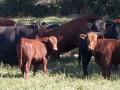 black-brown-cows