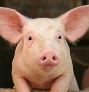 Pigs 11:30